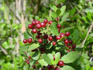 Rhamnus_alaternus_frutos