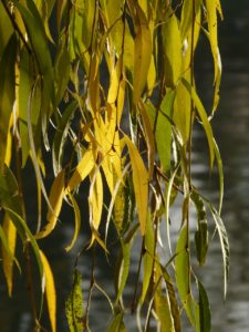 willow-leaves-10711_1280